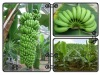 banana tissue culture plants for sale