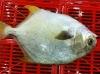 Frozen golden pompano