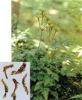 Coptis Root Extract Powder