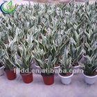 scientific name of plants (sansevieria laurentii)