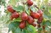 dried red jujube fruit
