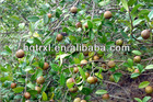 Camellia Oleifera,Camellia oil,Camellia Seed Oil,Carrier Oil,Camellia Oleifera Seed Oil,camellia cooking oil,health care product