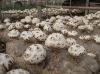 M1003 shiitake mushroom