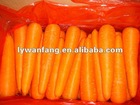 2012 new crop red fresh carrot hot sale in Middle East with HACCP certificate
