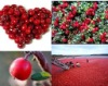 High quality Cranberry Extract 10% 50% PAC
