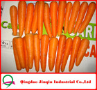"JQ ""Carrot Price"" 2012 New Crop Fresh Carrot Hot Sale Shandong Carrot Factory"