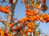 IQF sea buckthorn fruits