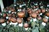 Agaricus blazei Mushroom P.E.10%-50% Polysaccharide
