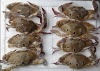 Frozen Three Spotted Crab