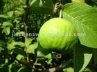 Chinese Natural GUAVA Leaf Extract Powder 5:1