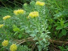 Rhodiola Extract Powder