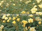 Bright Simle -Floribunda Roses