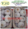 high quality fresh garlic