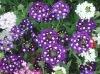 Verbena Flower seed