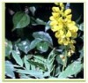 Cassia angustifolia extract( Senna leaf extract;Senna alexandrina)