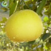Guanxi Pomelo Fruit