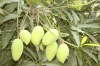 irvingia gabonensis seed extract/african mango extract
