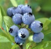 Bilberry Extract for Health and Medical