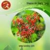 Elderberry Extract anthocyanins 25%