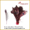 indian peacock feather