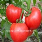 Tomato P.E.