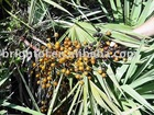High quality Saw Palmetto Fruit Extract
