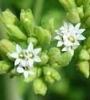 manufacture superior stevia (leaf )sugar RA/ STV