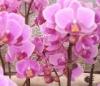 phalaenopsis seedling