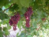 Fresh fruit -sweet chinese Red grapes