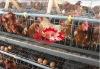 ecnomic chicken cages