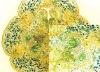 educational botany prepared slides/Ovary of Lilium brownii var.viridulum T.S./botany microscope slides