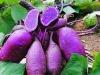 Purple Sweet Potato Entire Powder