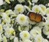 First Grade Tribute Chrysanthemum Tea