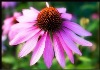 GMP factory Echinacea Extract