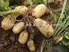 China vegetable Fresh best quality potato