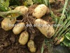 China vegetable Fresh best quality potato
