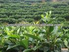 high purity tea polyphenol 98%