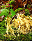 Panax Ginseng Root P.E.with Low Pesticides residues(10 ppb max)