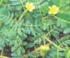 Tibulus terrestris P.E.