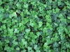 Chinese Ivy Powder Extract