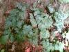 Rhizoma Coptidis extract