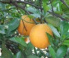 Fresh valencia orange of China