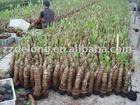 Alocasia Macrphyllus