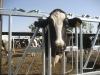 cow head lock