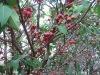Taiwan Delicious Wax apple (Eugenia javanica Lam) Fruit