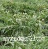 Artichoke Leaf powdered Extract