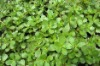 dehydrated purslane for health