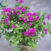Purple Single Flowering Bougainvillea Bonsai