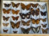 Butterfly specimen(23 types)