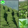 Well-known chinese famous high moutain green tea
